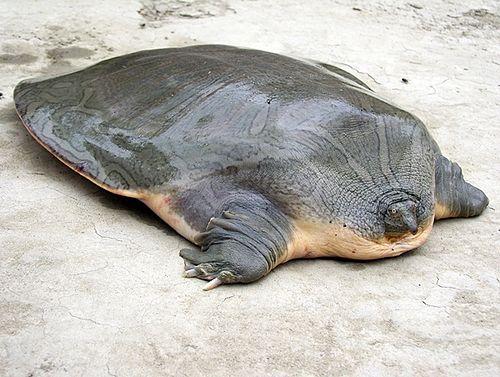 Trionychidae tortugas